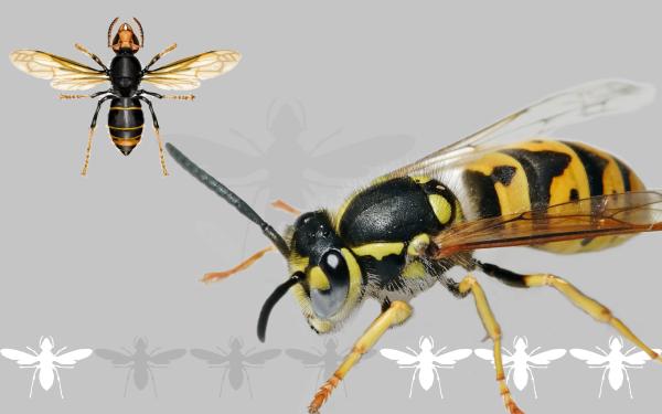 Alergia a Himenópteros